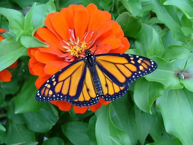 Stěhování severoamerických motýlů monarchů, je pro obyvatele USA vždy na podzim doslova atraktivní podívanou. Miliony pestrobarevných, oranžovo-černých motýlů se sdružují do milionových hejn a odlétají na tisíce kilometrů dlouhou cestu na jih. Jejich konečnou stanicí je ponejvíce Mexiko, někteří línější jedinci zůstávají už i na jihu Kalifornie.