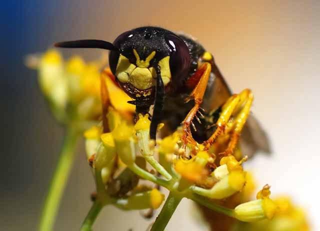 Ty skupiny hmyzu, které mají mezi stadium larvy a dospělce vsunuté ještě stadium kukly, tedy hmyz s proměnou dokonalou, musí řešit velký problém. Narozdíl od pohyblivých stadií jsou bezbranné kukly vydány na milost a nemilost všem, kdo si na ně brousí zuby. Němečtí vědci přišli nedávno se zjištěním, že kukly vosiček květolibů na sobě pěstují bakterie, které pro ně vyrábějí přirozená antibiotika.