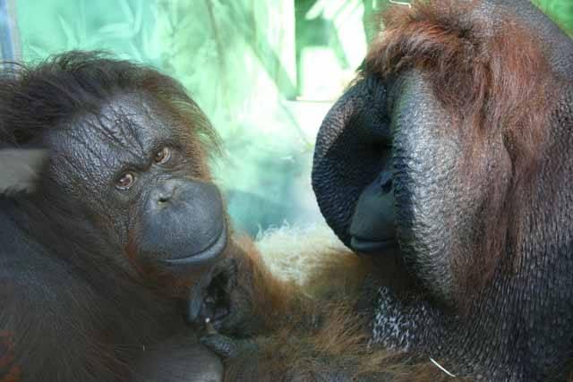"""čka orangutana bornejského (Pongo pygmaeus), kterému v zoo v Ústí nad Labem říkají Ňuňák, proslavil především film Marie Poledňákové """"Dva lidi v zoo"""" z roku 1989. Ve filmu se představil jako sotva 5 kilogramů vážící """"miminko"""", dnes je z něj však 140kilogramový obr, který patří k největším orangutanům na světě."""
