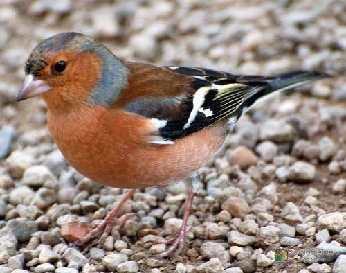 ČSO dnes zveřejnila výsledky analýzy změn početnostiptáků do letošního roku 2010. Množství ptáků v krajině se snižuje, ubývají zejména ty nejpočetnější druhy. Velmi špatně jsou na tom ptáci zemědělské krajiny.