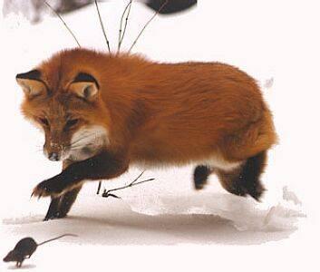 Podle posledních výzkumů mají lišky schopnosti, které bychom čekali spíše u technologicky vyspělého dálkového navádění střel. Při svých útocích na kořist totiž dokáží  využívat magnetického pole Země nejen pro orientaci, ale také k odhadu její vzdálenosti. S objevem přišel tým českých zoologů.