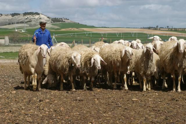 """Zbytky po výbušninách, které se dostávají do půdy díky vojenským cvičením či likvidacím starých domů, dokáží v půdě """"přežívat"""" celé desítky let. Nákladné čištění půdy žárem by mohly nahradit biologické stroje – obyčejné ovce."""