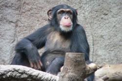 Sluch raných hominidů se odlišoval od šimpanzů