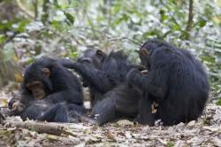 Parazit zbaví šimpanze strachu z leopardů