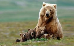 Medvědi nejsou škodnou zvěří