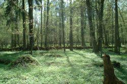 8000 let starý prales v srdci Evropy