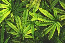 Poničené geny kuřáků marihuany
