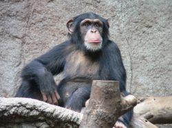 Zombie v živočišné říši: Může se šimpanz stát loutkou?