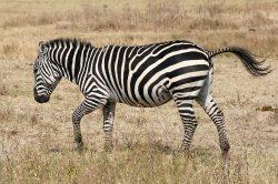 Proč mají zebry pruhy?