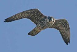 Sokol stěhovavý – nejrychlejší dravec světa i zdařilý manipulátor