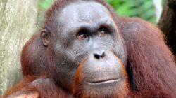 Internetová seznamka Tinder jako zachránce orangutanů