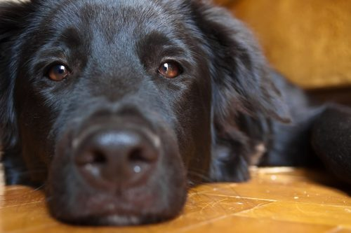 black dog lying on the floor. close-up, eyes half closed
