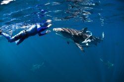Žraloci v ohrožení kvůli strachu