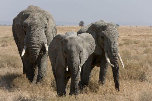 1280px-Serengeti_Elefantenherde2