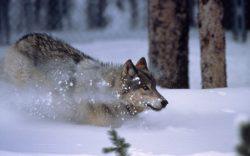 Genetické mapování populace vlků ve střední Evropě