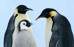 Tučňáci císařští mají starosti: jak zvládnou změny klimatu?