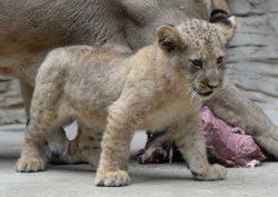 Olomoucká zoo představila 20. mládě v přírodě vyhynulého lva berberského