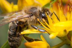 Včel kriticky ubývá. Proti smrtelným virům by je měla ochránit látka z hub