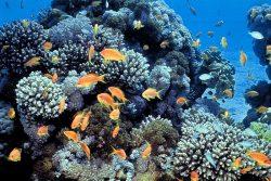 Korálové útesy v Rudém moři jsou odolnější vůči vyšším teplotám