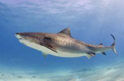 Suchozemští zpěvní ptáci se objevují na jídelníčku žraloků tygřích