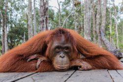 Poslední odpočítávání pro orangutany