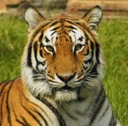 Nové sčítání tygrů vIndii ukázalo, že se jejich počty za deset let zdvojnásobily