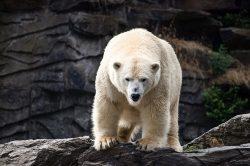 Smutná zpráva z pražské ZOO: Lední medvědice Bora musela být utracena
