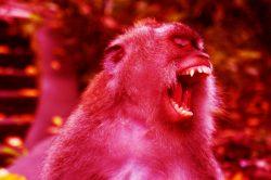 Agresivní opice ukradly v Indii vzorky krve s koronavirem