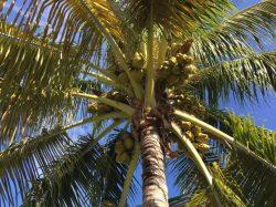 V Indii byl vynalezen robot na sběr kokosů