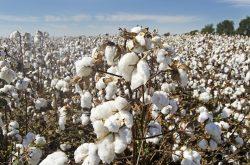 Historie bavlny: nejoblíbenějšího textilního materiálu, který znali již staří Egypťané