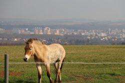 Praha jako mongolská step…  Koně Převalského mají 20 hektarů pastvin na Dívčích hradech