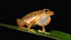 Čeští vědci popsali nový rod žáby z Konga