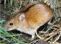 Čeští zoologové zmapovali šíření hlodavců z Asie do Evropy. Pomohly jim genetické stopy z doby ledové.