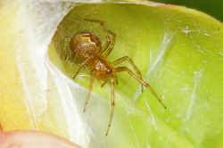 Klimatické extrémy mohou zvyšovat agresivitu pavouků