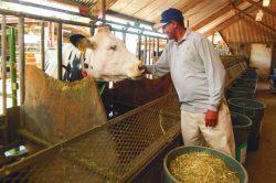 Když si kráva odskočí: Vyměšováním proti skleníkovým plynům