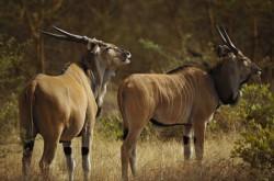Západní Afrika hlásí úbytek vzácné zvěře
