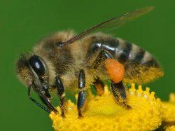 Objev brněnských vědců může zachránit včely