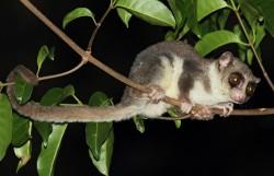 Hibernace prodlužuje lemurům život