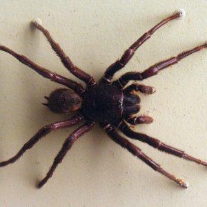 Darling Downs funnel-web spider