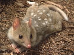 Australští kunovci se odnaučují žrát ropuchy