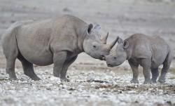 Nosorožci s kamerou mají zatočit s pytláky