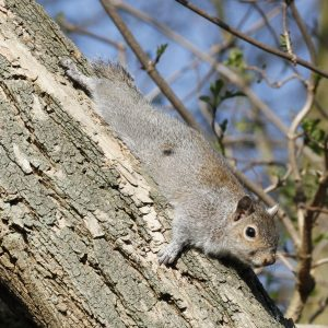 Grey squirrel_copyright_Tim M Blackburn