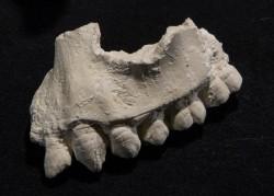 Archeologové objevili nového předchůdce člověka