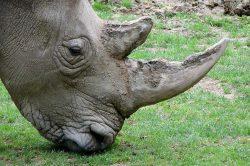Jihoafričtí pytláci loni zabili méně nosorožců