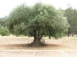 Poprvé přečten genom olivovníku