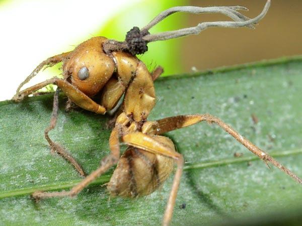 Ophiocordyceps camponotibalzani