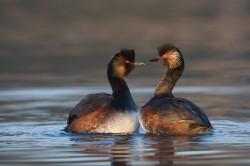 Ptákem roku 2015 se stala potápka černokrká