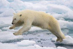 Lední medvědi v ohrožení!