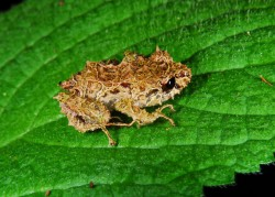 Ekvádorská žába si udělá na kůži ostny