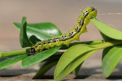 Invaze zelené housenky
